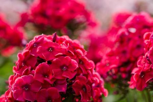 Phlox Star Fire - BIO